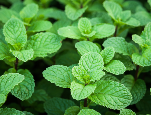 Tough™ 5EC Herbicide Granted for Emergency Use in Mint